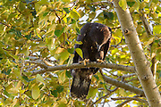 A juvenile bald eagle (Haliaeetus leucocephalus) looks down from its perch in a cottonwood tree after taking one of its first flights.