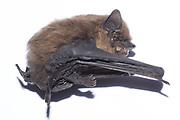 Roadkill common pipistrelle (?) bat. Sussex, UK.