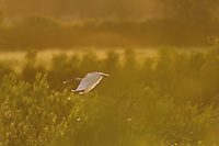 Spoonbill (Platalea leucorodia) flying over the heronry of Krapje đol. Near Krapje village. Lonjsko Polje Nature Park. Ramsar Site. Sisack-Moslavina county. Slavonia region. Posavina area. June 2009. Croatia.<br /> Elio della Ferrera / Wild Wonders of Europe