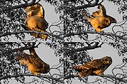 Short-eared owl (Asio flammeus) stumbling in branches of alder tree. Surrey, UK.