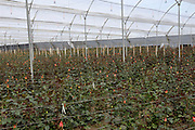 Ecuador, May 26 2010: View of one of the greenhouses at Melrose. Melrose supply roses primarily to Russia. .Copyright 2010 Peter Horrell