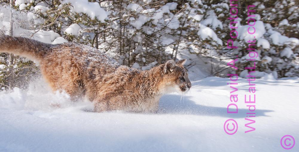 Young mountain lion running in fresh snow, © David A. Ponton