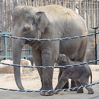 One week old captive born baby Asian elephant is introduced to members of the media the first time after her mother Angele gave birth on 14th February in the City Zoo in Budapest, Hungary on February 21, 2013. ATTILA VOLGYI