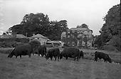 1961-19/08 Aberdeen Angus Herd at Clonacody House