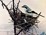 The loggerhead shrike (Lanius ludovicianus) is a passerine bird in the family Laniidae. It is one of two members of the shrike family endemic to North America;  It is nicknamed the butcherbird after its carnivorous tendencies, as it consumes prey such as amphibians, insects, lizards, small mammals and small birds, From Birds : illustrated by color photography : a monthly serial. Knowledge of Bird-life Vol 1 No 1 June 1897