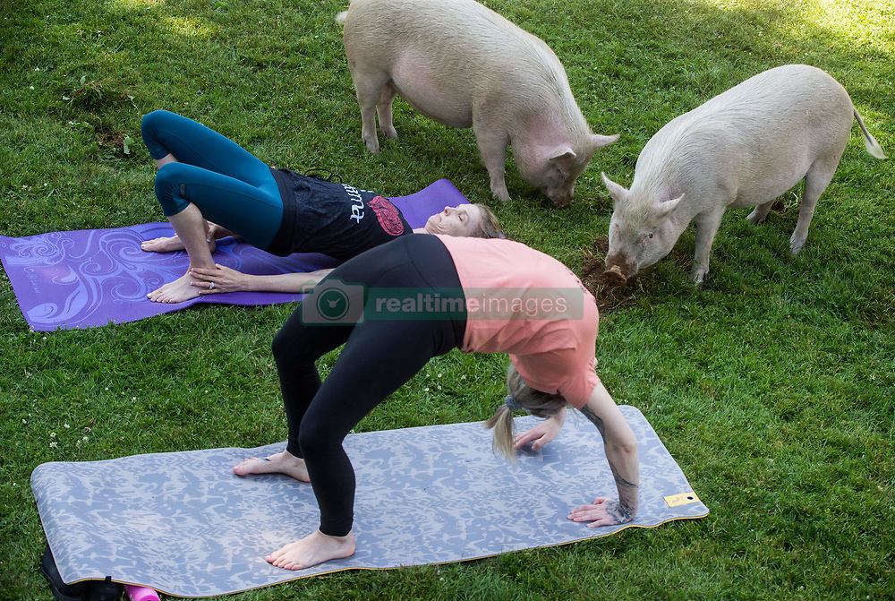 Tania Whelan, top, and Karilee Ennis participate in a yoga session with pigs during a charity fundraiser at The Happy Herd Farm Sanctuary, in Aldergrove, BC, Canada on Sunday June 24, 2018. The not for profit sanctuary held three yoga classes with four pigs on Sunday to raise money to help cover veterinarian costs. The pigs were born at the sanctuary when one of two neglected pot-bellied pigs seized by the SPCA unexpectedly gave birth to a litter of five after being taken in. Photo by Darryl Dyck/CP/ABACAPRESS.COM