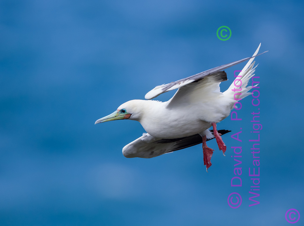 Red-footed booby in downward flight with wings pulled in to reduce lift, webbed feet lowered to reduce speed, Kauai, Hawaii, © David A. Ponton