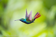 A male Black-Throated Mango Hummingbird, Anthracothorax nigricollis, one of 13 species of hummingbirds found in Trinidad. Image available as a premium quality aluminum print ready to hang.