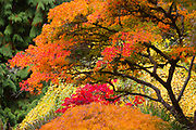 A sweeping Japanese maple and other trees and shrubs show off their fall colors in the Woodland Garden in the Washington Park Arboretum, Seattle, Washington.