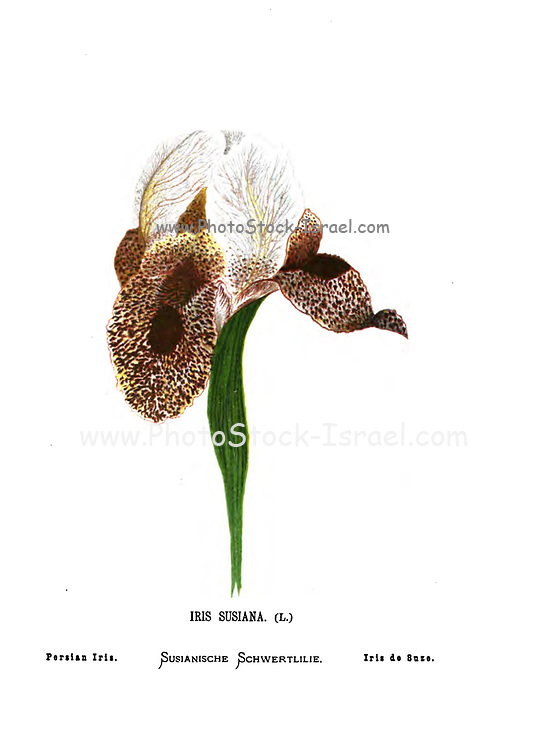 Iris susiana (Mourning Iris Here as Persian Iris) is a species of plant in the family Iridaceae native to Lebanon. This beautiful and big iris, with a span easily reaching twelve centimeters. It grows nowadays in Lebanon, Syria and Turkey where its survival is seriously threatened by excessive picking. From the book Wild flowers of the Holy Land: Fifty-Four Plates Printed In Colours, Drawn And Painted After Nature. by Mrs. Hannah Zeller, (Gobat); Tristram, H. B. (Henry Baker), and Edward Atkinson, Published in London by James Nisbet & Co 1876 on white background