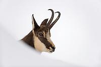13.11.2008.Chamois (Rupicapra rupicapra). Portrait..Gran Paradiso National Park, Italy