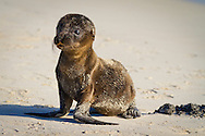 A newborn sea lion pup on a sandy beach on the island of San Cristobal in the Galapgos National Park, in Ecuador, South America