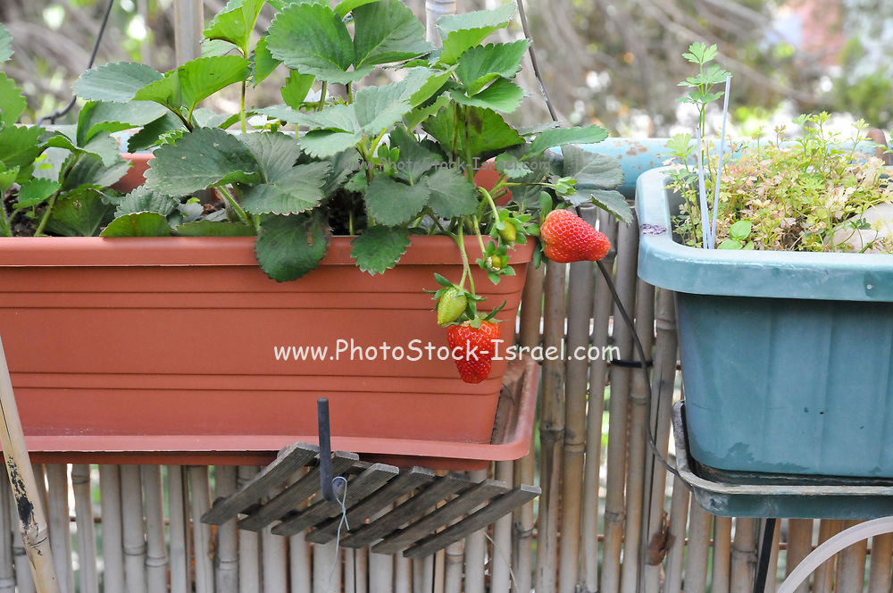 Home grown strawberry patch in a garden. Photographed in Israel in Spring in May
