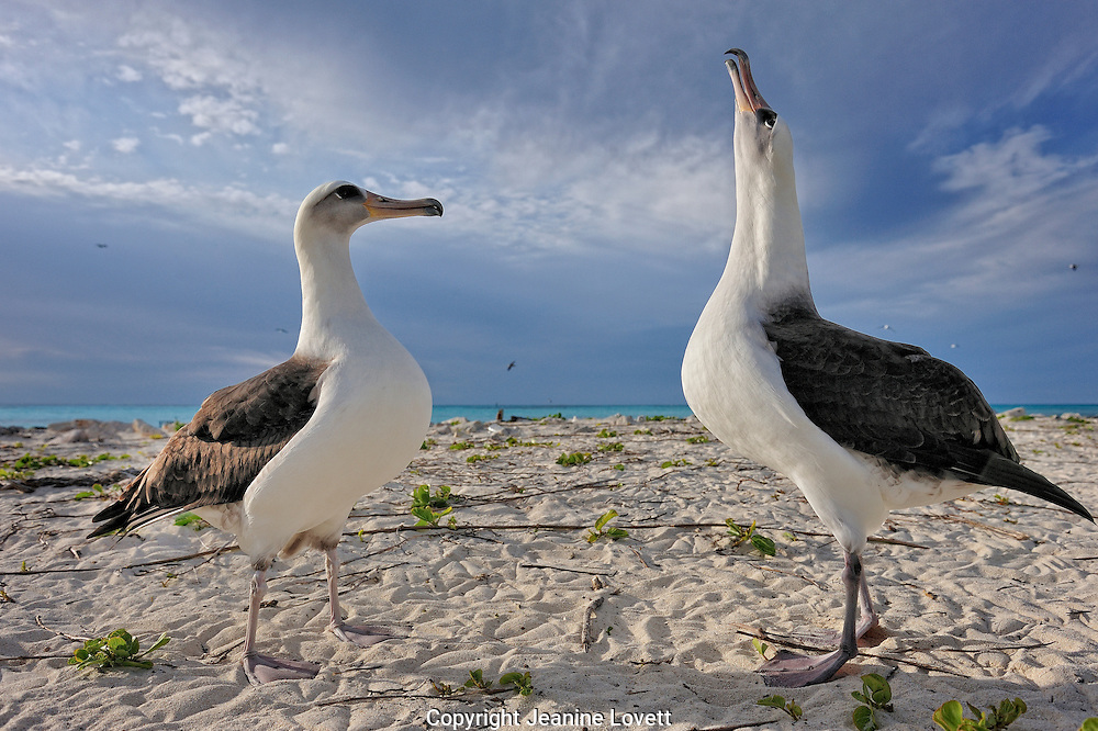 Two laysan albatross courtship dance and display, on a sandy beach.