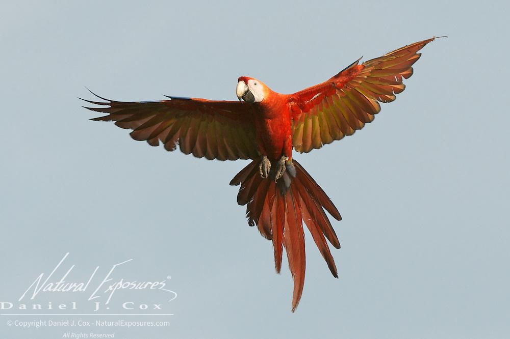 Scarlet MaCaw, in flight. Osa Peninsula, Costa Rica