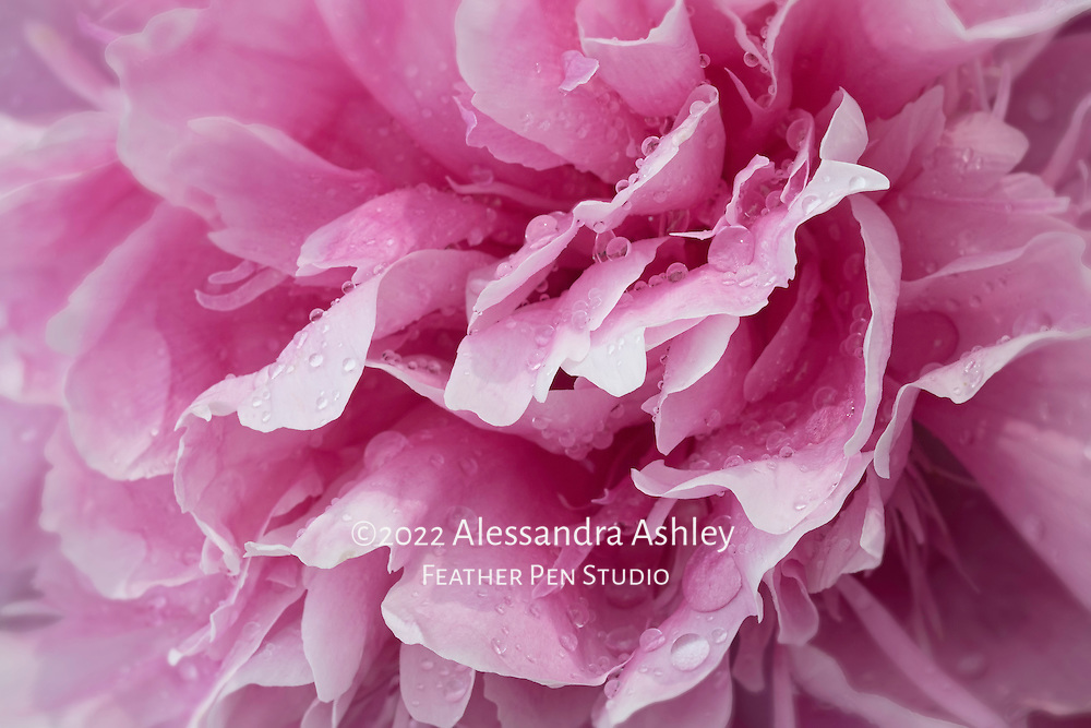 Macro floral portrait, giant double peony blossom after a soaking late spring rain. Earth Shots photo of the day on 07.23.16.