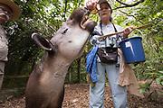 Feeding time for the Baird's Tapir (Tapirus bairdii) at the Belize Zoo.