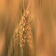"""Sun Streaked Wheat""<br />