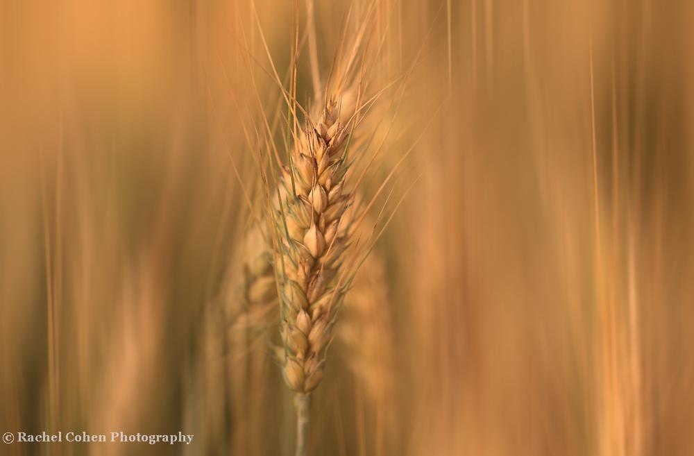 """Sun Streaked Wheat""<br /> <br /> Beautiful golden wheat in soft flowing streams!"