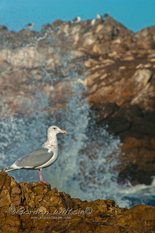A Thayer's Gull (Larus thayeri) perches on a rock by the Pacific Ocean near Pescadero, California.