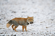 "Tibetan Fox, Vulpes ferrilata, Angsai nature reserve, ""Valley of the Cats"", Sanjiangyuan National Nature Reserve, Tibetan Plateau, Qinghai, China"