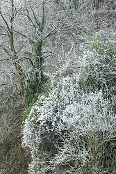 Frosty winter woodland in Gloucestershire with Travellers Joy, Old Man's Beard. Clematis vitalba