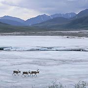 Barren Ground Caribou (Rangifer arcticus) porcupine herd. Arcitc National Wildlife Refuge, Alaska