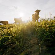 Cows along a high Alpine road, Ischgl, Austrian Tirol, Austria.