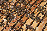 This image shows the inside of a wooden beehive, revealing honeycomb and many bees. HMP Kingston, Portsmouth, United Kingdom.
