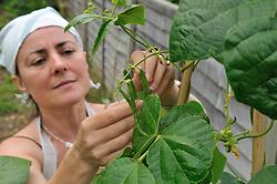 Woman picking dwarf runner beans in her back garden UK