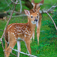 A pair of white-tailed deer (Odocoileus virginianus) fawn twins enter the woods near Big Meadows, Shenandoah National Park, Virginia.