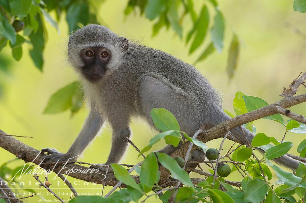 Vervet monkey, Londolozi Game Reserve, Sabi Sand Game Reserve, South Africa.