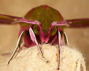 An extreme close-up front view of an Elephant hawk-moth (Deilephila elpenor) showing detail of the face and eyes resting in a Norfolk garden in summer