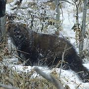 Fisher, (Martes pennanti) Montana. Portrait. Winter. Captive Animal.