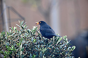 Blackbird with berry. Image shot through glass door.