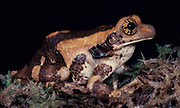 Marbled  tree frog, Rhacophoridae, rainforest, patterned sking and eyes.