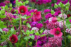 Malope trifida 'Vulcan' with Dianthus barbatus 'Electron Auricula-eyed Mixed' (Sweet William)
