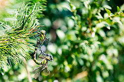 THEMENBILD - Blaugrüne Mosaikjungfern bei der Paarung // dragonflies during mating. EXPA Pictures © 2016, PhotoCredit: EXPA/ Johann Groder