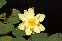 """A single lotus flower on a hot summer morning.  Most interesting about these flowers are the leaves, which will not get wet, but instead repel waterdrops in such a way that they just form """"beads"""" on top of the pad-like structure. Lots of fun to play with when the fish aren't biting!"""
