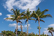 Coconut palms against a blue sky at Avalon State Park in Fort Pierce, Florida.