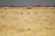 Orix grazing at Etosha National Park, in Namibia, Africa.