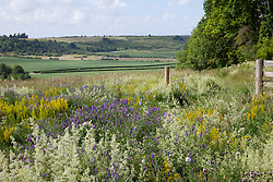 The meadow at Magdalen Hill Down Butterfly Nature Reserve with Field Scabious, Hedge and Lady's Bedstraw and Tufted Vetch. Knautia arvensis, Galium verum, Galium mollugo, Vicia cracca