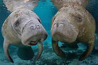 Florida manatee, Trichechus manatus latirostris, a subspecies of the West Indian manatee, endangered. Two manatees look like they are discussing current events back in Three Sisters Springs. Manatees will spend time socializing in the warm waters of Crystal River National Wildlife Refuge, Kings Bay, Crystal River, Citrus County, Florida USA.