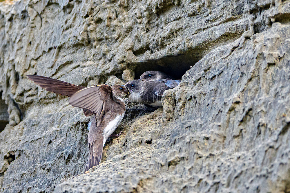 Juvenile sand martins (Riparia riparia) being fed in their burrows by their adult mother. Photo from south-western Norway in August.