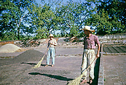 Man workers with brushes sweeping coffee in farmyard, Fazenda Sant' Anna, Campinas, Brazil, South America 1962