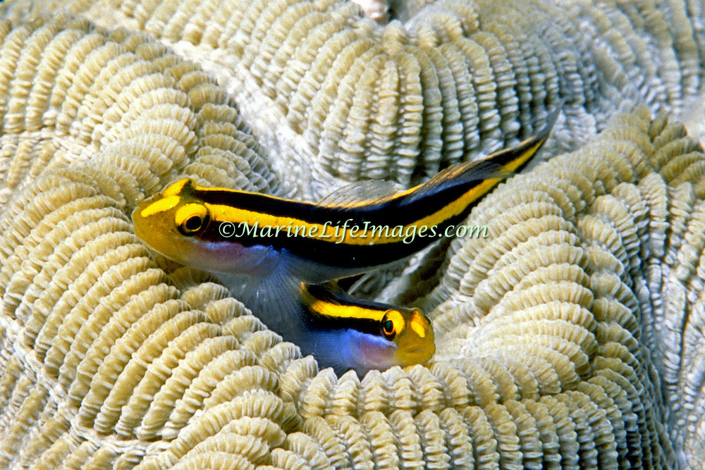 Yellownose Goby a cleaner fish, perch on cleaner station coral heads in Southwest Caribbean, Lesser Antilles to Venezuela; picture taken St. Vincent.