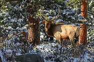 Bull Elk in the early morning snow