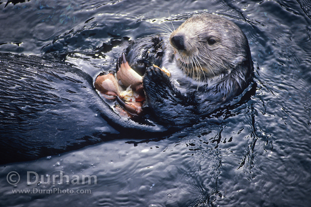 A southern sea otter (Enhydra lutris nereis) eating a crab in Monterey Bay, California.