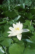 WHITE WATER-LILY Nymphaea alba (Nymphaeaceae) Aquatic. Water plant, conspicuous when its large, floating leaves are visible (they die back in winter). Grows in still or slow-flowing freshwater to a depth of 3m. FLOWERS are 15-20cm across, fragrant and comprise 20-25 white or pinkish white petals that open fully only in bright sunshine; borne on stalks just above surface of the water (Jun-Aug). FRUITS are globular, green and warty. LEAVES are 10-30cm across, rounded and floating, the upper surface water repellent. STATUS-Widespread and locally common.