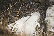 "Stoat (Mustela erminea) in winter coat stoping for a moment on frozen snow blocks at river side, nature park ""Svētes paliene"", Latvia Ⓒ Davis Ulands | davisulands.com"